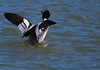 Red-breasted Merganser.