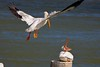White Pelican protests another trying to take its perch.
