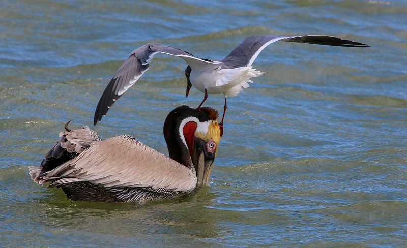 A Franklin's Gull tries to steal pelican's catch.