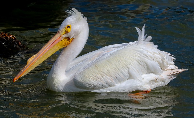 White Pelocan in mating plumage.