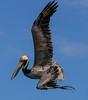 aaGalveston 3-3-2017 Pelicans 1023A, Dive 1