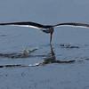 Black Skimmer skimming.