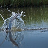 Royal Tern breaks surface in a dive for catching fish.