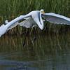 Great Egret taking off.