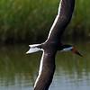 Black Skimmer in flight.