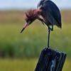 Backlit perched Reddish Egret