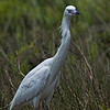 Reddish Egret White Morph.
