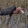 Reddish Egret with crab standing on the bank of the canal running along Sportsman Rd.  Top and side of head is muddy from just having got the crab.  This is a 3% crop of the full frame.