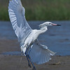 White Morph about to land on beach at San Luis Pass on the west end of Galveston Island.