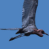 Reddish Egret in flight.  Heading for a Jay fly-by.