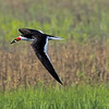 Black Skimmer in flight with fish.
