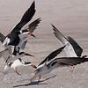 Black Skimmers landing.