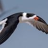Black Skimmer in flight.  Entry One on Week One.