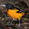 Baltimore Oriole, male.  Entry Two on Week Three.