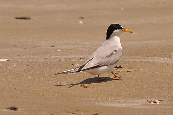 Bolivar - Gulls, Terns, Pipers and more... 5/14/09