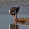 Adult Oystercatcher feeding.