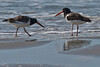 Adult and juvenile Oystercatchers.