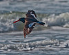 Back lit Oystercatcher in flight along Freeport Beach about 5 miles after San Luis Pass Bridge.