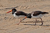 Two Adult Oystercatchers.