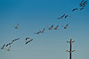 Sand Hill Cranes in flight.  In my trips to the West in of Galveston Island, this is the largest group of Sand Hill Cranes.