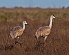 Sandhill Cranes shot in Galveston off Hwy 3005 on the west end of the island. This is an 8% crop of the full frame shot. As with the Whoopers so with the Sandies, about fourty to fifty yards is as close as they will allow the observer/photographer to get without a blind.