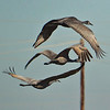 Sand Hill Cranes in flight.