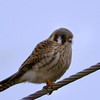 8% crop of an American Kestrel shot at same time about 4 minutes and about 100 feet apart, this time at 10:22 along Stewart Rd. on 020615 with Tamron 150-600mm/4.5-6.3 lens, 900mm effective focal length.