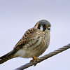 5% crop of American Kestral on very overcast day with my Tamron 150-600mm/4.5-6.3 lens.  I used NeatImage.