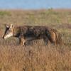 Coyote, AKA Sandhill Crane herder.  2.3% crop of full-frame.