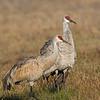 Sandhill Cranes.  Between 75 and 100 yards away.