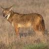 Coyote, AKA Sandhill Crane herder.  2.3% crop of full-frame((837x670)/24,200,000).