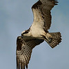 10% crop of full-frame. Backlit Osprey in flight with a fish.  Shot on the east end of Galveston.