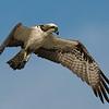 4% crop of an Osprey in flight.