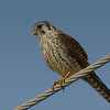 American Kestrel shot along Stewert Road on west end of Galveston Island.  1.7% crop of the full frame.  Shot with the Sony A7R II body and the Sony SAL70400G2 lens.
