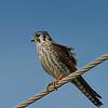 1.8% crop of the full frame, the bird is less than 0.8% of the full frame.  American Kestrel.