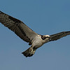 4% crop of Osprey in flight on east end of Galveston Island.