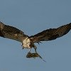 3.3% crop of an Osprey in flight with fish on east end of Galveston Island.