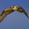 6% crop of an Osprey in flight on east end of Galveston Island.