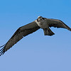 7% crop of an Osprey in flight on east end of Galveston Island.