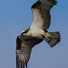 3% crop of an Osprey in flight on east end of Galvestion Island.