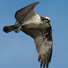 3% crop of full frame.  Osprey on the east end of Galveston Island.