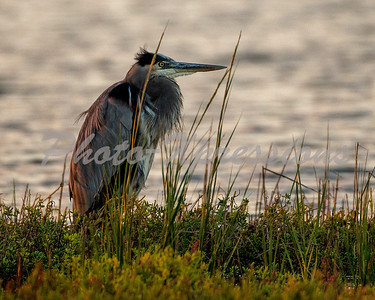 Great blue heron_0843