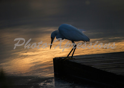 snowy egret thinking_0968