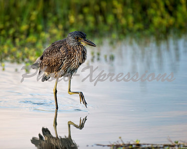 juvenile yellow crowned heron_0906