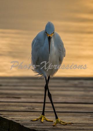 snowy egret strolling_0974