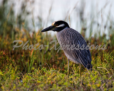 yellow crowned heron_1000