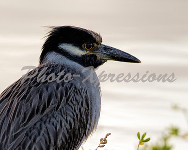 yellow crowned heron_0932
