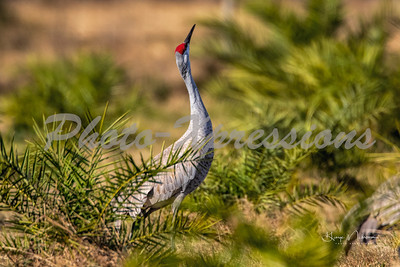 snad hill crane_6572