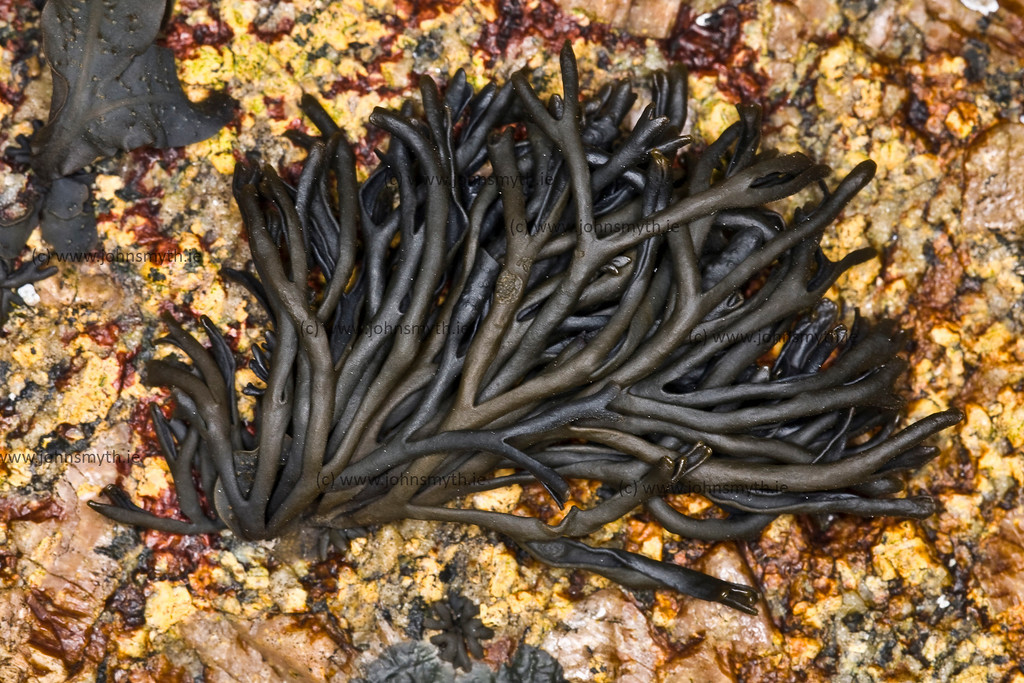 Channeled wrack seaweed on a rock at Silver Strand in Galway