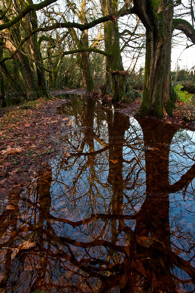 Reflections of beech trees in flooding caused by spillover from the Graigabbey river, between Athenry and Attymon, Co. Galway